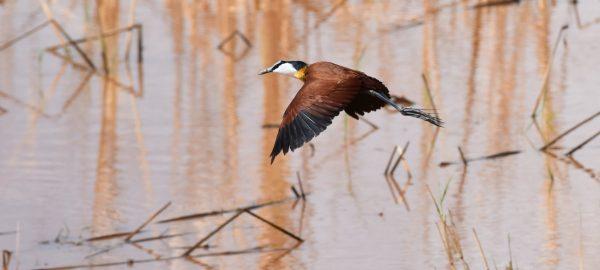 A bird flying over Lake Manyara